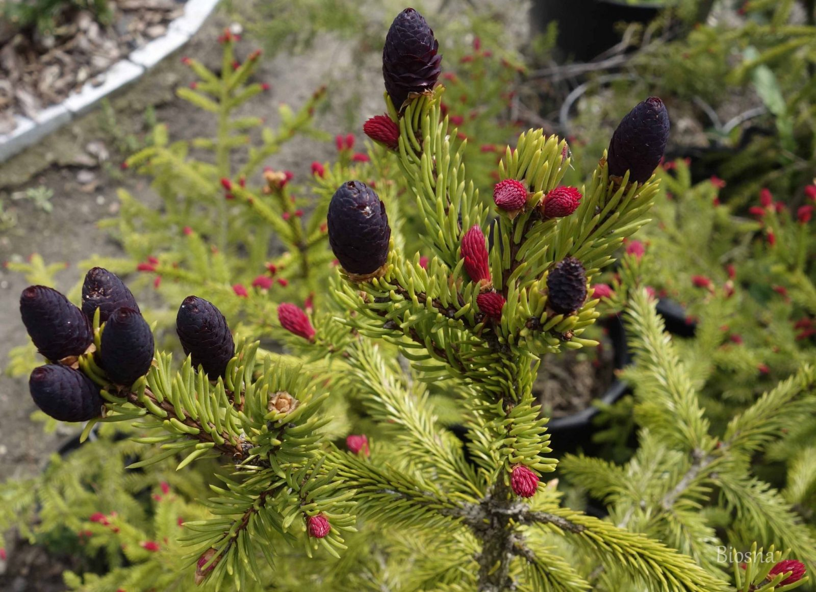 Picea abies Rydal