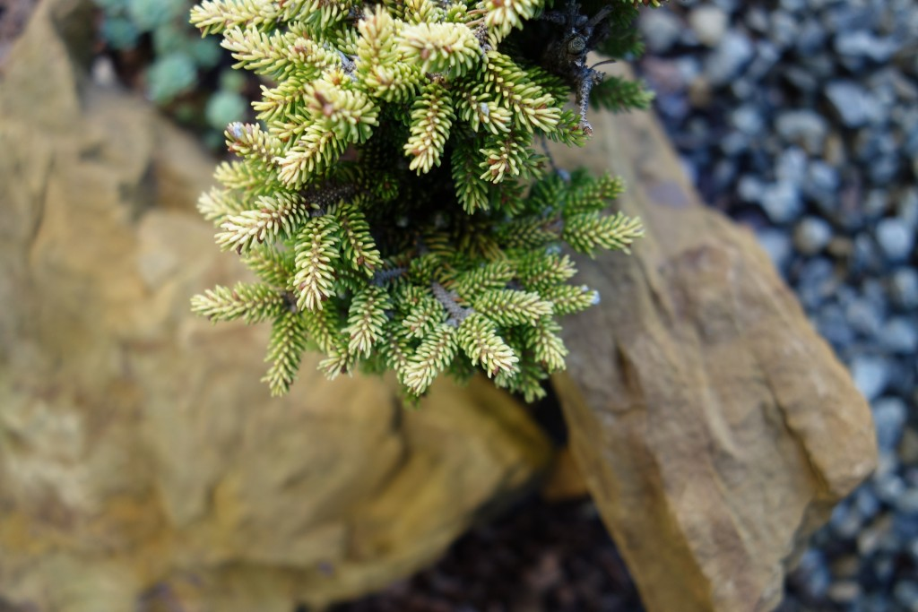 Picea orientalis Tom Thumb Gold