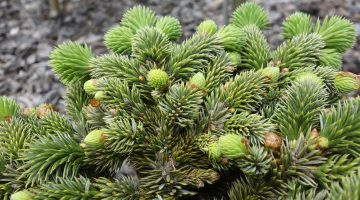 Picea sitchensis Ban