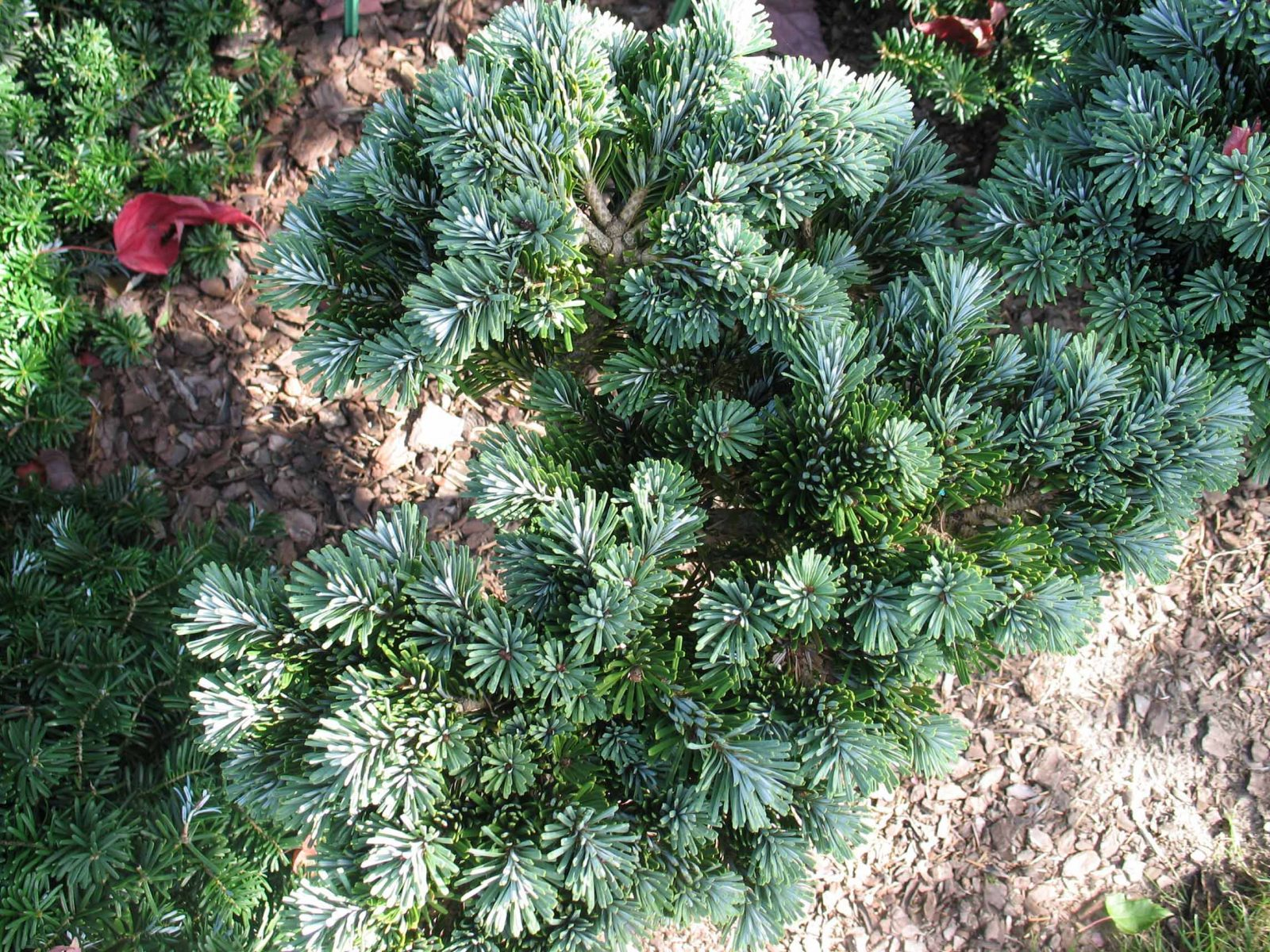 Abies veitchii Rumburk